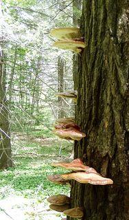 More Tree Mushrooms
